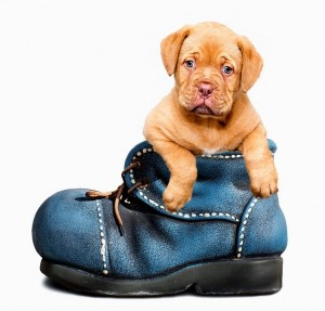 Cute Puppy Dog in boot