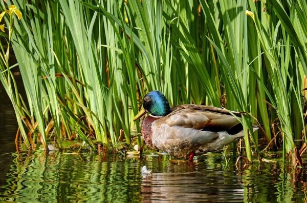 duck-