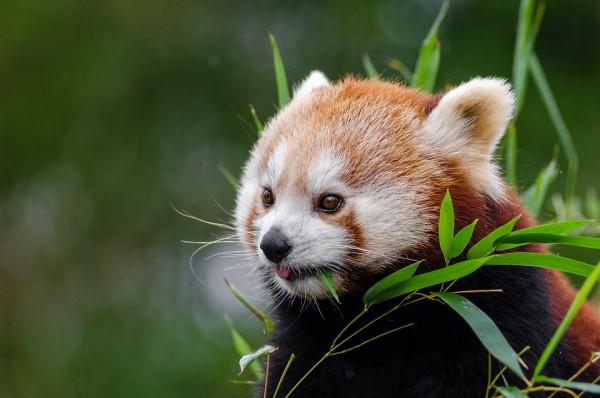 red-panda-