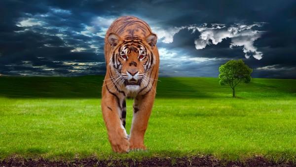 tiger-tiger