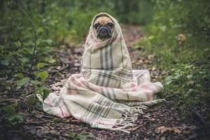 Cute Pug In Blanket