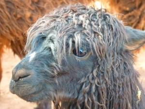 Furry alpaca