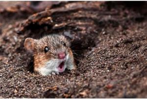 Shocked Rat